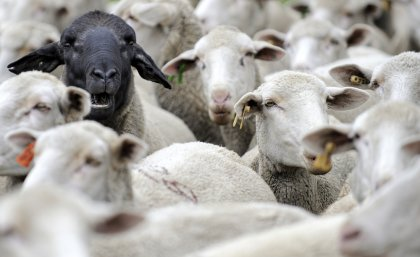 one black sheep among many white sheep